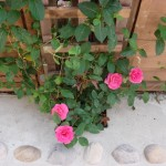 Judith's Pink Roses
